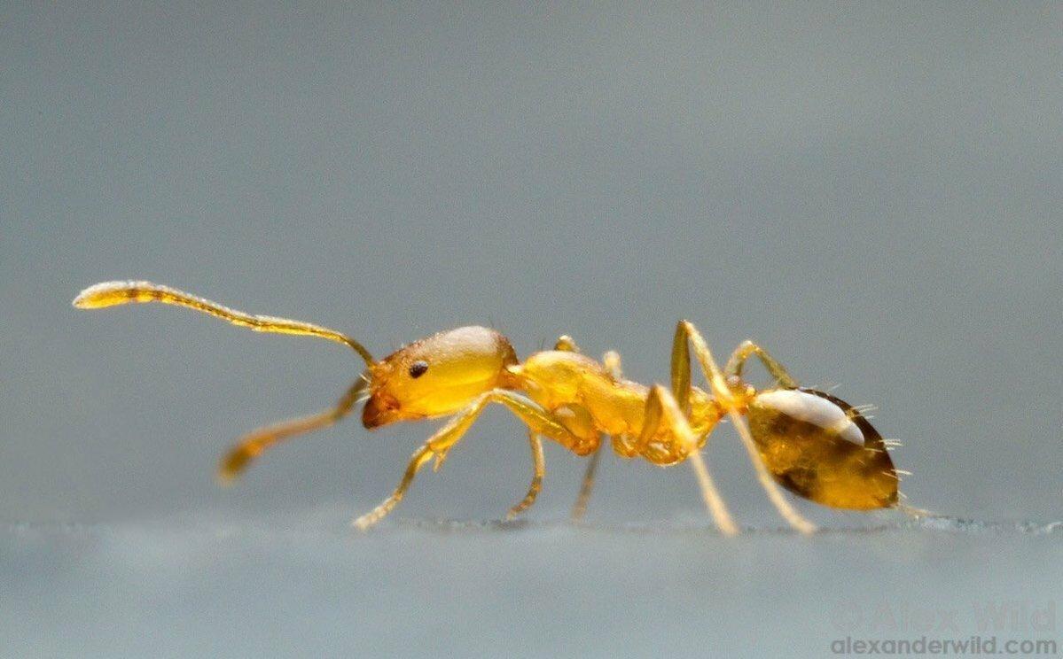 Фараонов муравей: 270 лет назад их нашли в гробнице, грызущими мумии. Теперь они расползлись по всему миру и захватывают дома