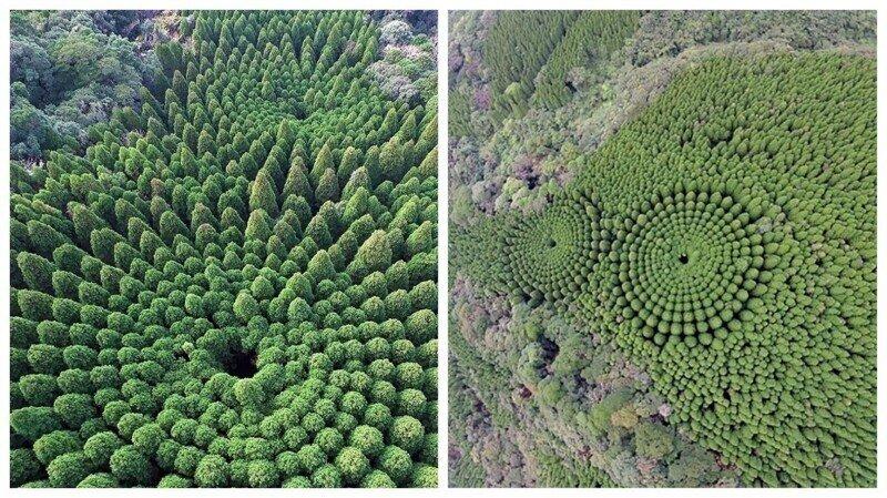 В Японии обнаружились загадочные круги из деревьев