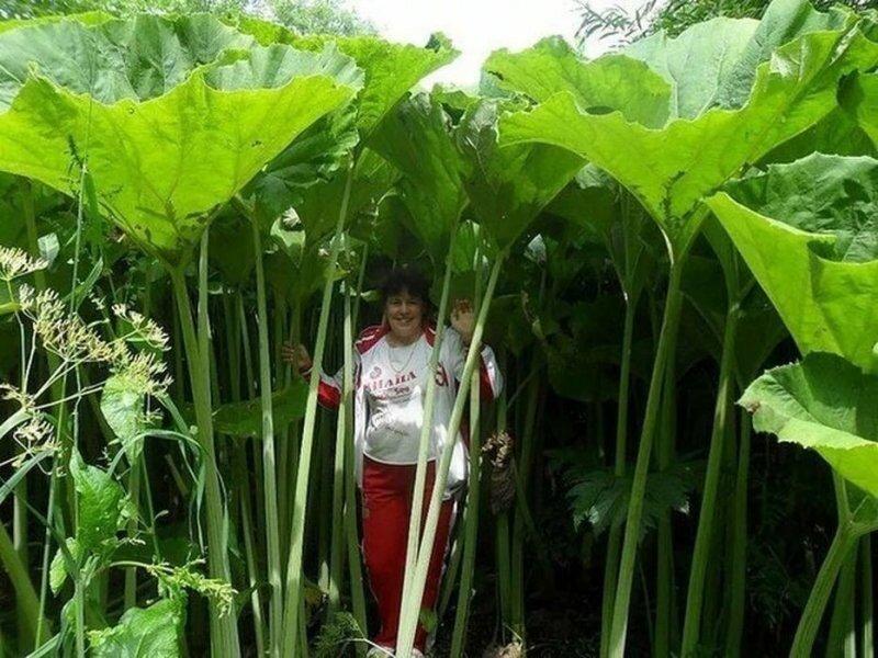 Самое странное место на планете: почему на Сахалине обычные растения достигают гигантских размеров?