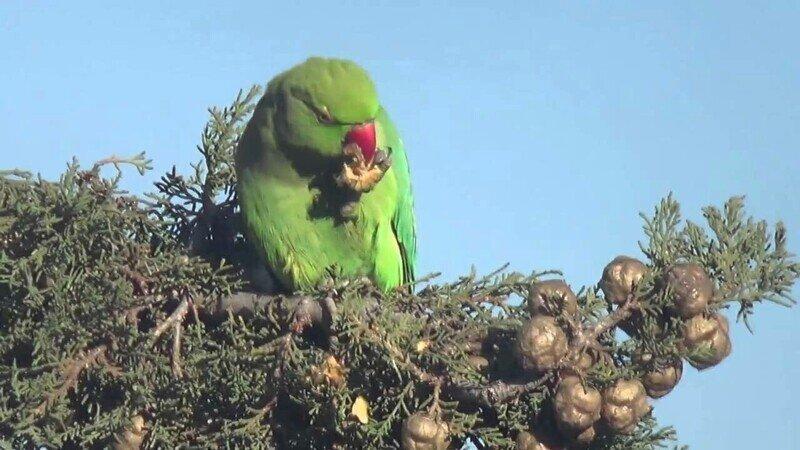 Попугаи выходят на тропу войны