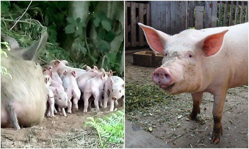 """""""Свободу!"""": беременная свинья эпично сбежала со свинофермы"""