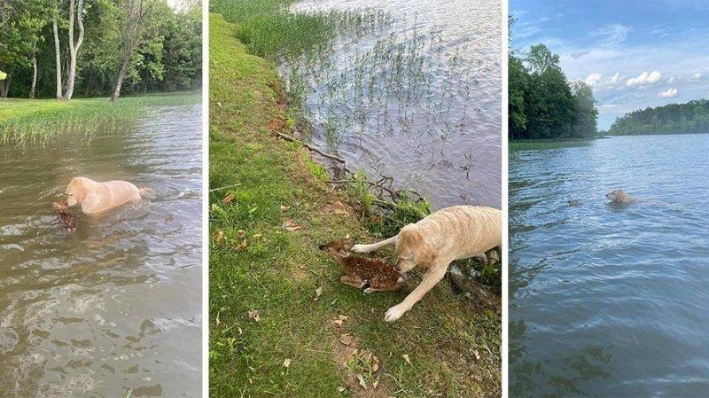 Голдендудль по имени Харли спас детеныша олененка из озера