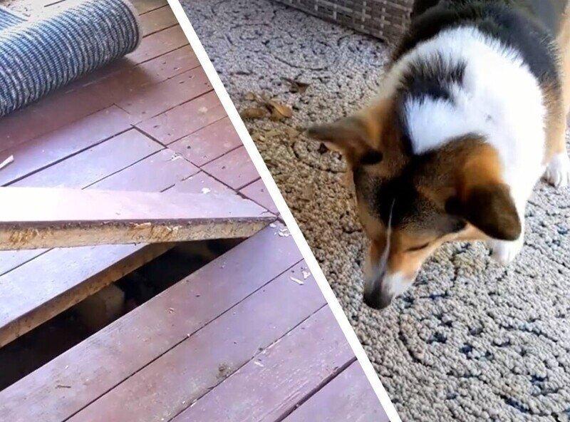 Пес очень долго лаял на ковёр и был прав, под полом были нежданные гости