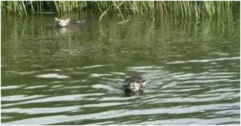 Котята отправились вплавь по реке, чтобы догнать хозяйку на лодке