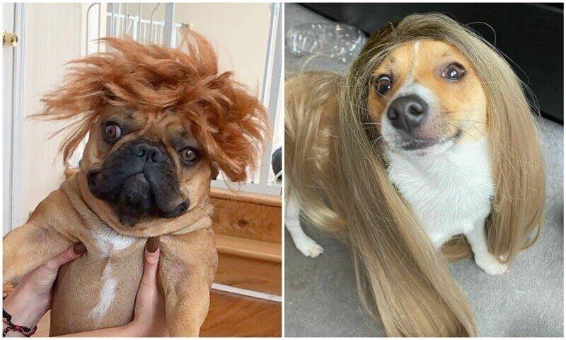 Новый интернет-тренд - собаки в париках