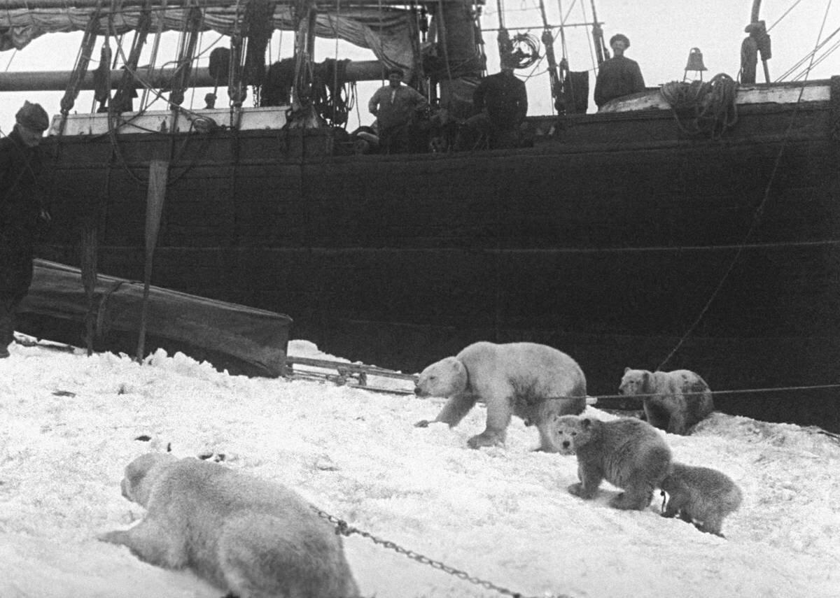 Как участники экспедиций по Арктике пытались запрягать белых медведей в собачью упряжку