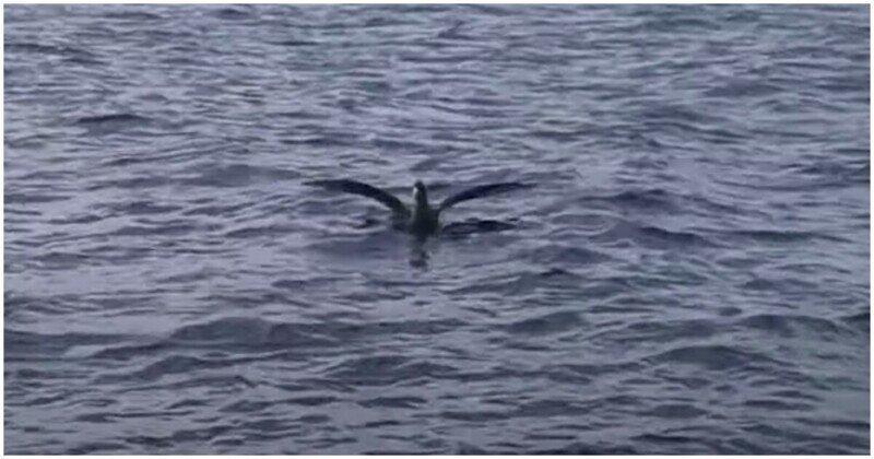 Шустрая акула атаковала и утащила под воду птицу