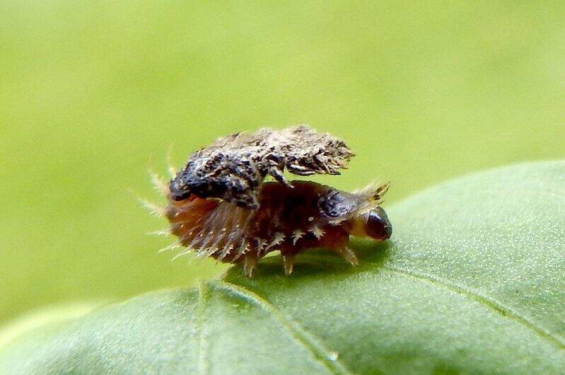 Золотой черепаховый жук: Жуёт листья психоделической лианы, строит щит из отходов и управляет своим