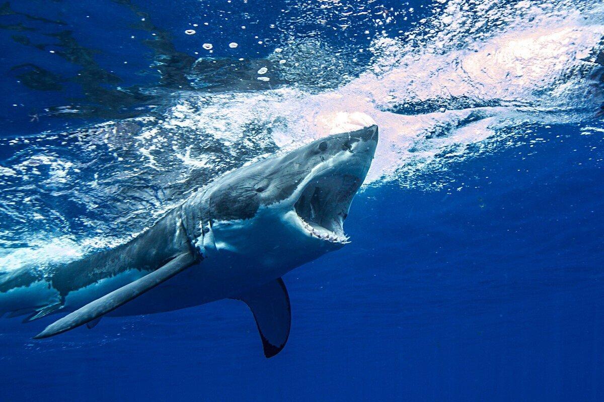 Как живёт белая акула: 9 интересных привычек и особенностей кархародона