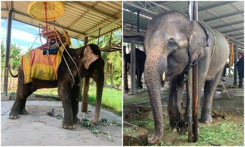 Туристов шокировало состояние слонов в тайских парках