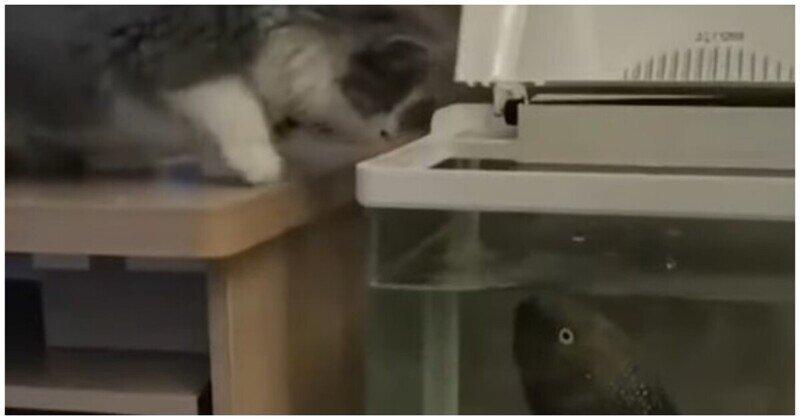 Аквариумная рыбка атаковала провоцирующего её кота