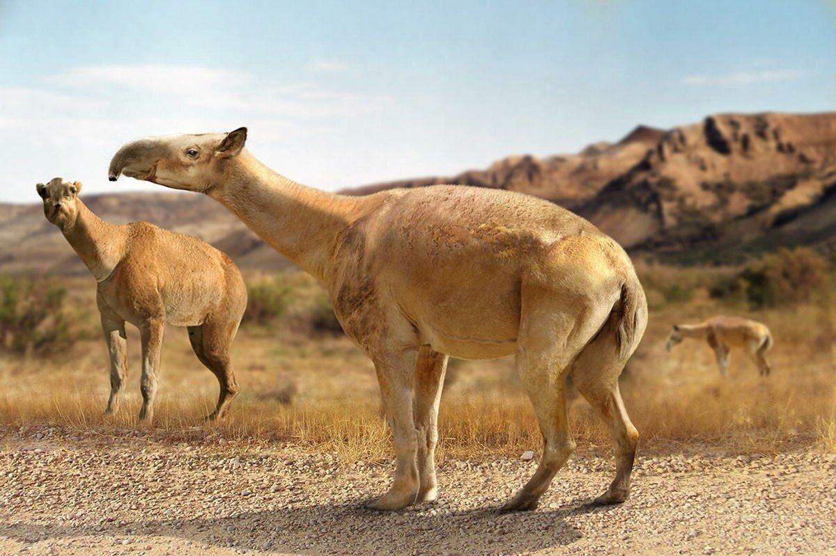 Макраухения: Помесь верблюда, ламы, коня и слона весом в тонну. Что за чудо водилось в Южной Америке?