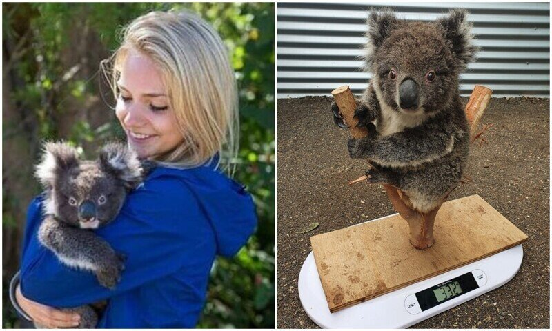 Необычный способ взвешивания коал