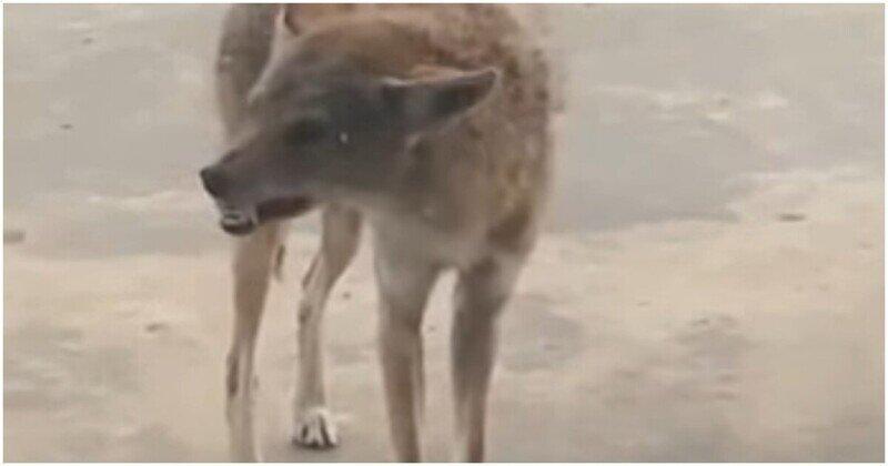 Жуткий койот с бешенством