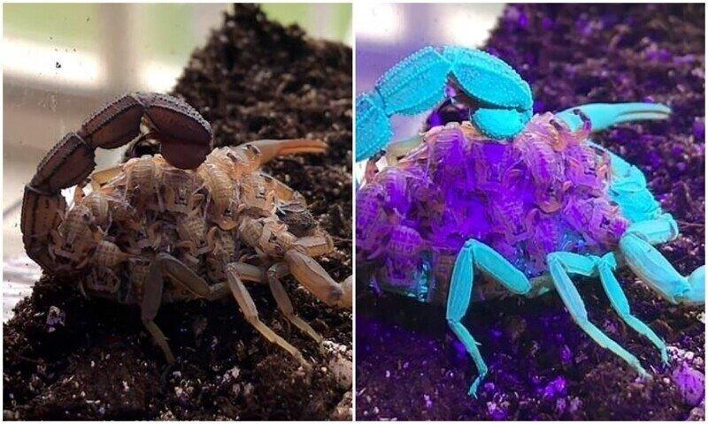 Почему скорпионы светятся в ультрафиолете?