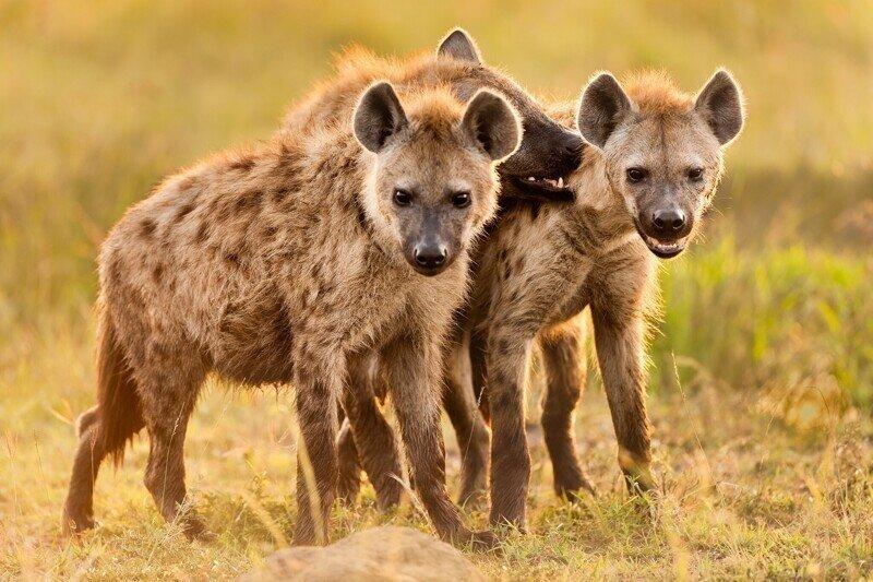 Африканский ужас - бесстрашные гиены