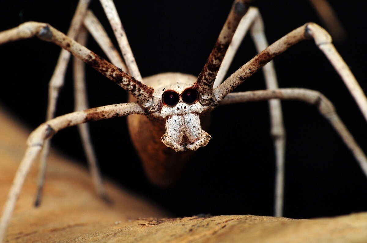 Паук-гладиатор: Бросок сети, чтобы поймать зверя. Странный хищник пользуется тактикой древних римлян для охоты
