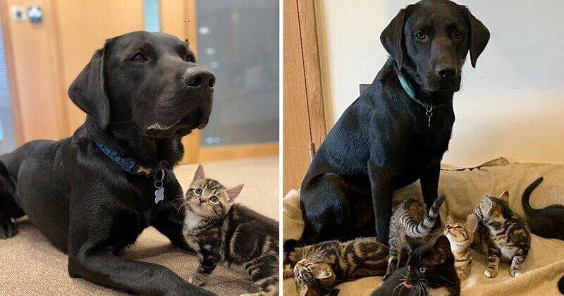 Лабрадор стала котятам второй мамой