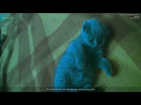 Нежный и обаятельный котенок породы Скоттиш Фолд (Вислоухий шотландец)