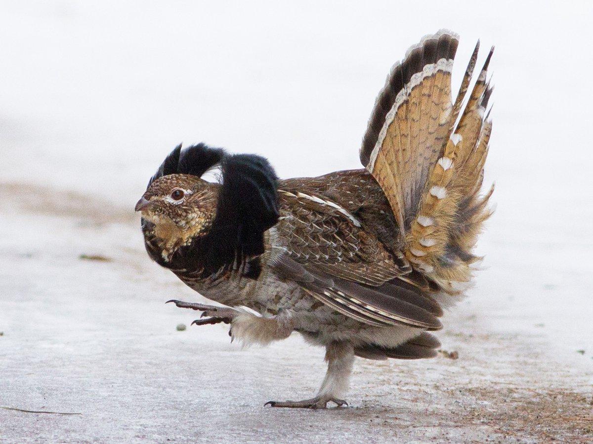 Воротниковый рябчик: 75% их птенцов погибают от суровых условий. Пернатый Рэмбо, что умеет зарываться в снег на несколько суток