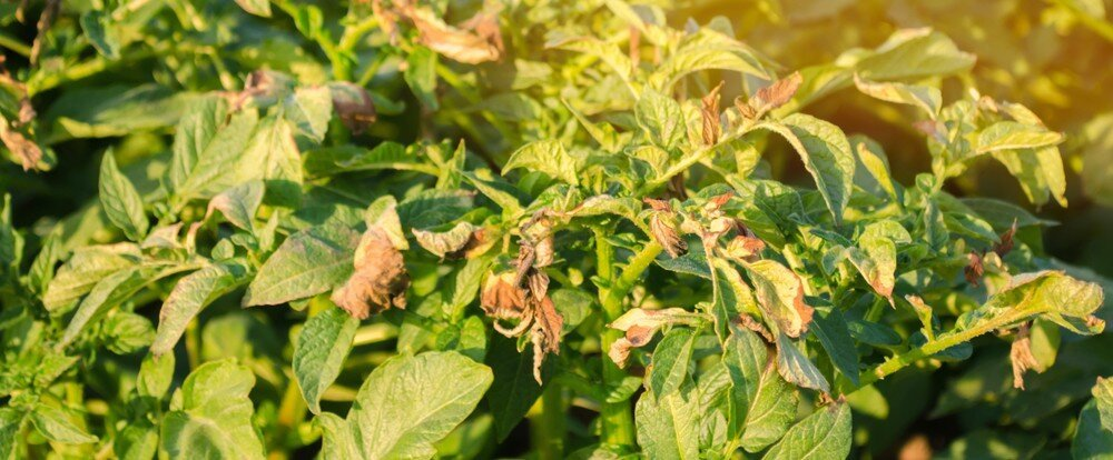 Пожелтела ботва: чем грозит пожелтение картофельных листьев летом?