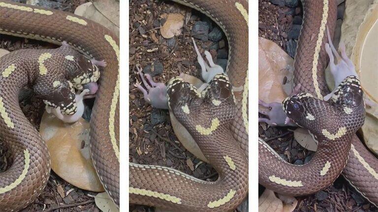 Двухголовая змея ест одновременно две разные добычи
