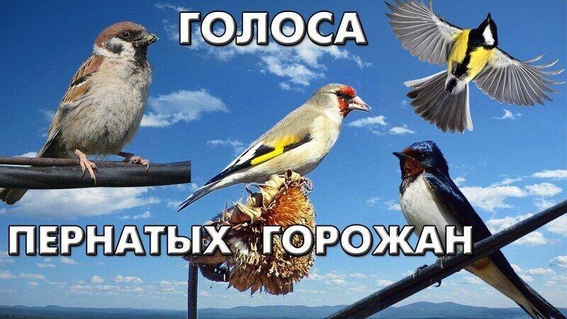 Голоса 42 птиц, гнездящихся в городе