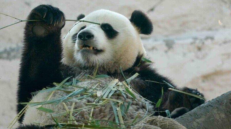 Панды из Московского зоопарка получили подарки на день рождения