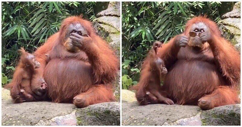 Самка орангутана решила примерить очки, которые уронила девушка