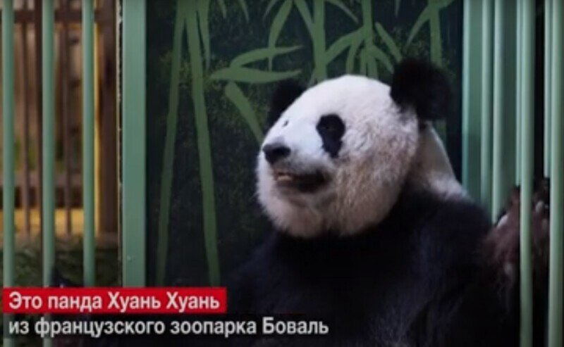 А у нас сегодня панда родила двоих пандят