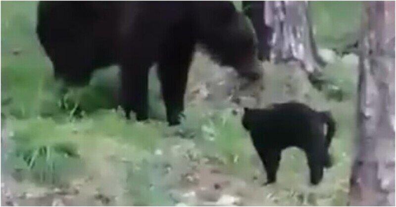 """""""Вася, успокойся"""": грозный кот не испугался медведя"""