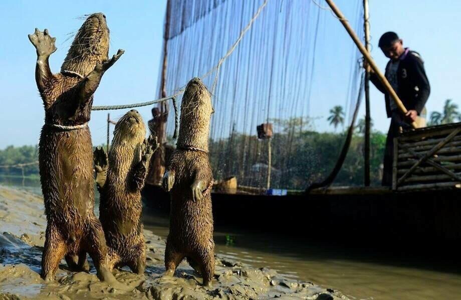 Как в Бангладеш выдры помогают рыбакам ловить рыбу