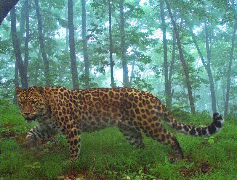 Впервые в Приморье насчитали более 100 дальневосточных леопардов
