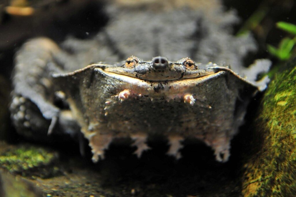 Бокошейные черепахи: Змеиная шея крайне древних рептилий. Зачем жертвовать безопасностью панциря?