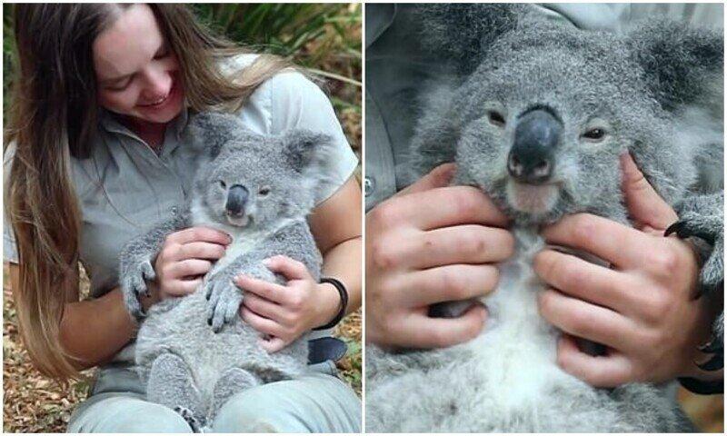 Какая милота: реакция коалы на массаж