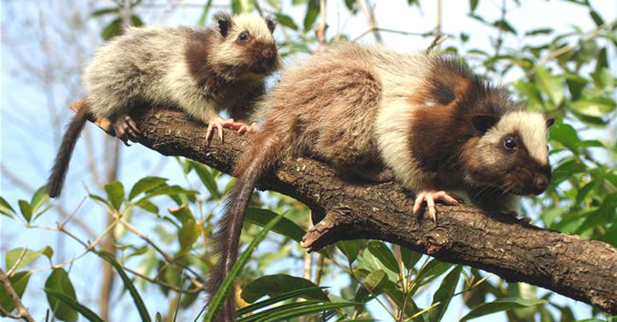 Облачная крыса: Природа пыталась сделать белку на основе крысы, а получился пожиратель риса весом в 3 кило