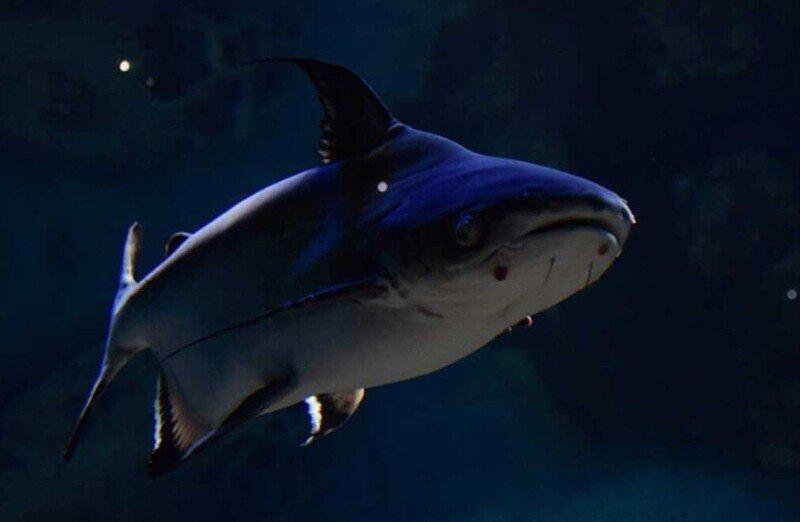 Акулий сом: Смешал в себе черты от акулы и сома, вымахал до 3 метров и кошмарит мутные реки Азии