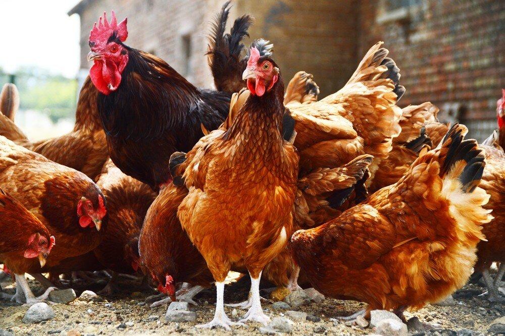 Факторы, влияющие на яйценоскость кур осенью