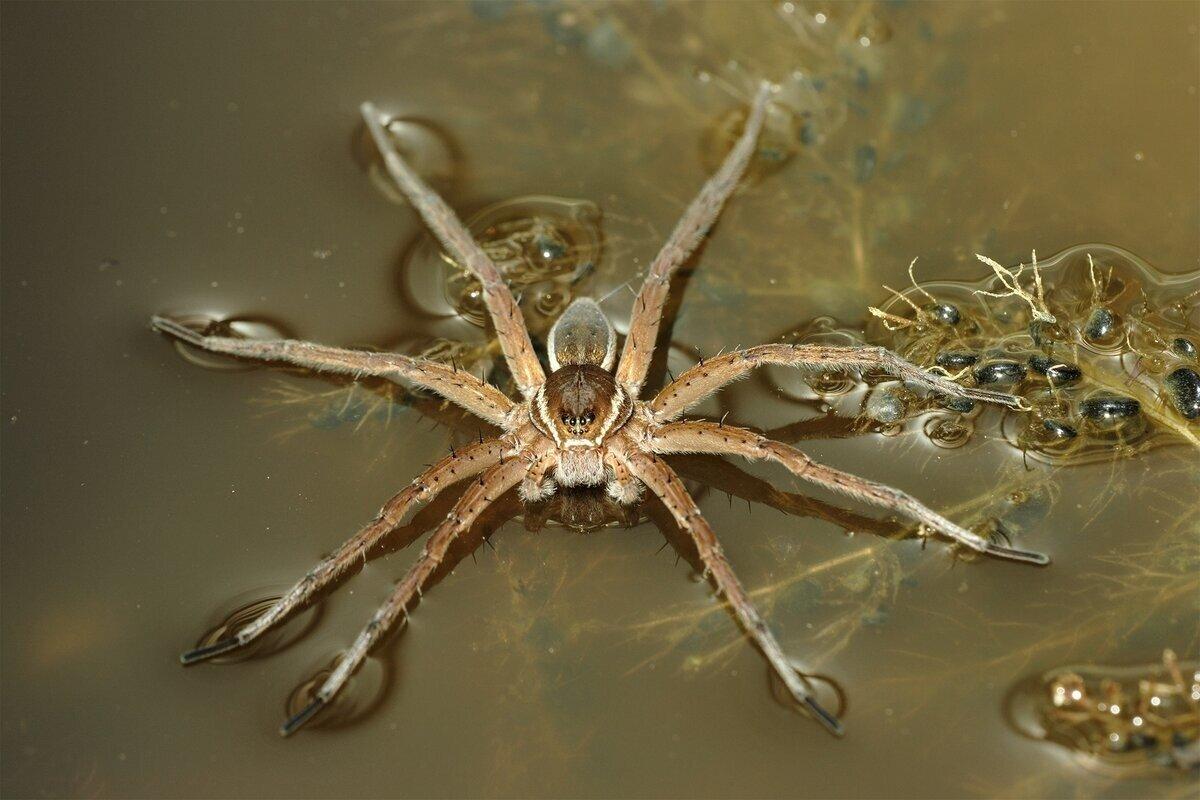 Каёмчатый охотник: Крупный паук, который обитает на реках и озёрах по всей России. Он умеет ходить по воде и ловить рыбу!