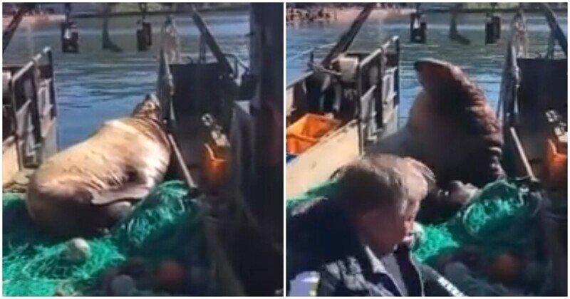 Грозный морской лев и рыбаки