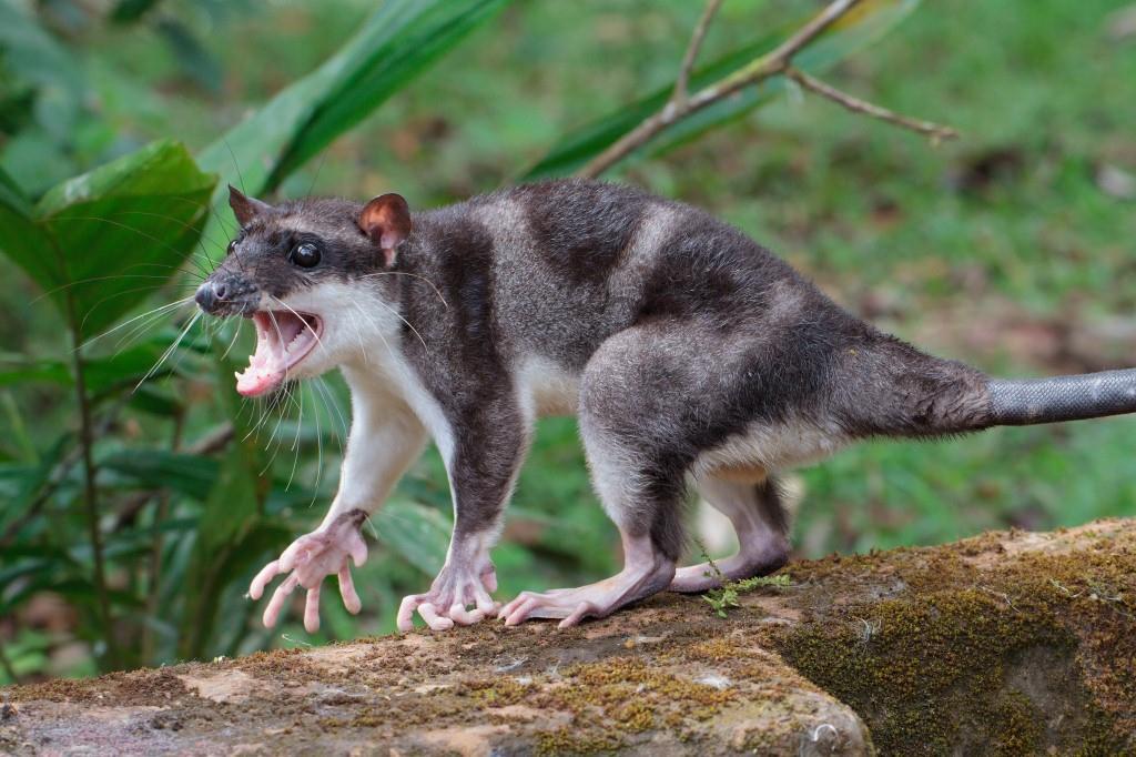 Водяной опоссум: Орущая крыса в ластах. Смешной зверь, который просто обязан стать мемом