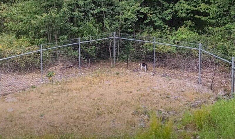 Храбрая кошка прогнала койота со своей территории