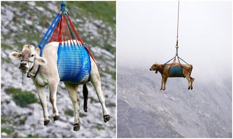 Коровы полетали над швейцарскими Альпами