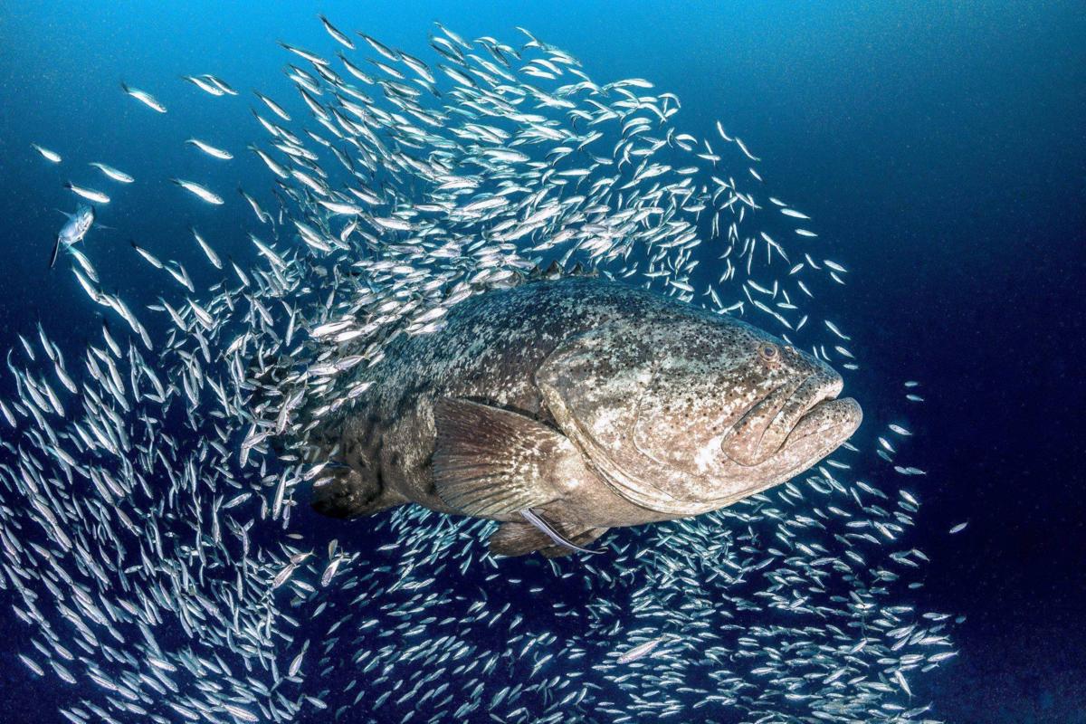 Гуаса: Хищный «камень» Атлантики. Мощная рыба размером с корову ест акул и устраивает засады дайверам