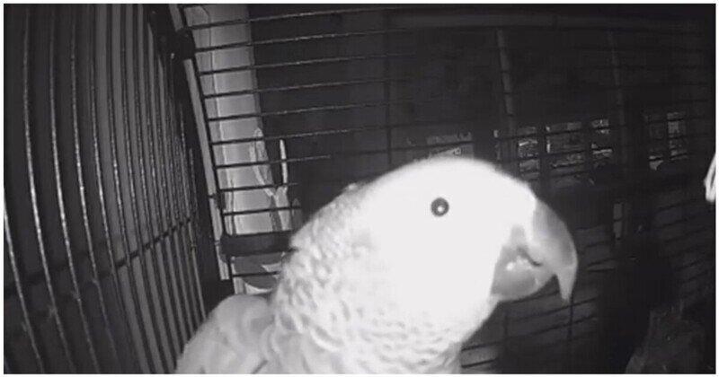 Разговор попугая с умным голосовым помощником