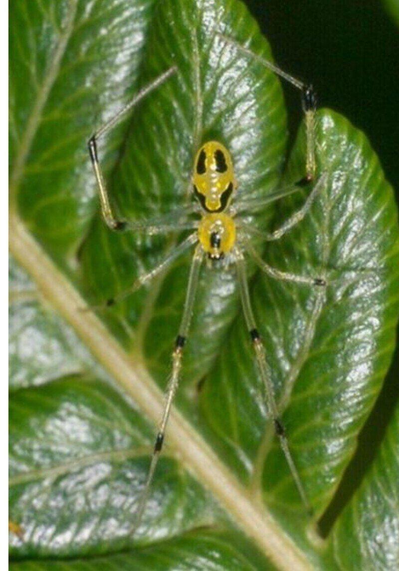 Theridion grallator – паук со смайликом