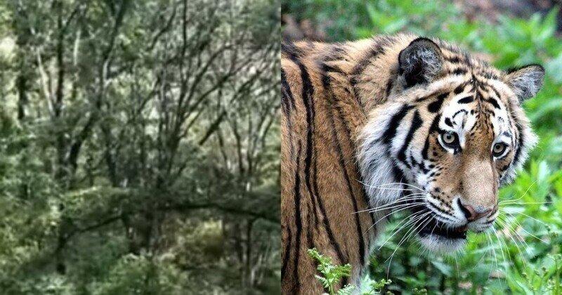В Приморье грибникам пришлось отсиживаться на дереве, пока по лесу бродил тигр