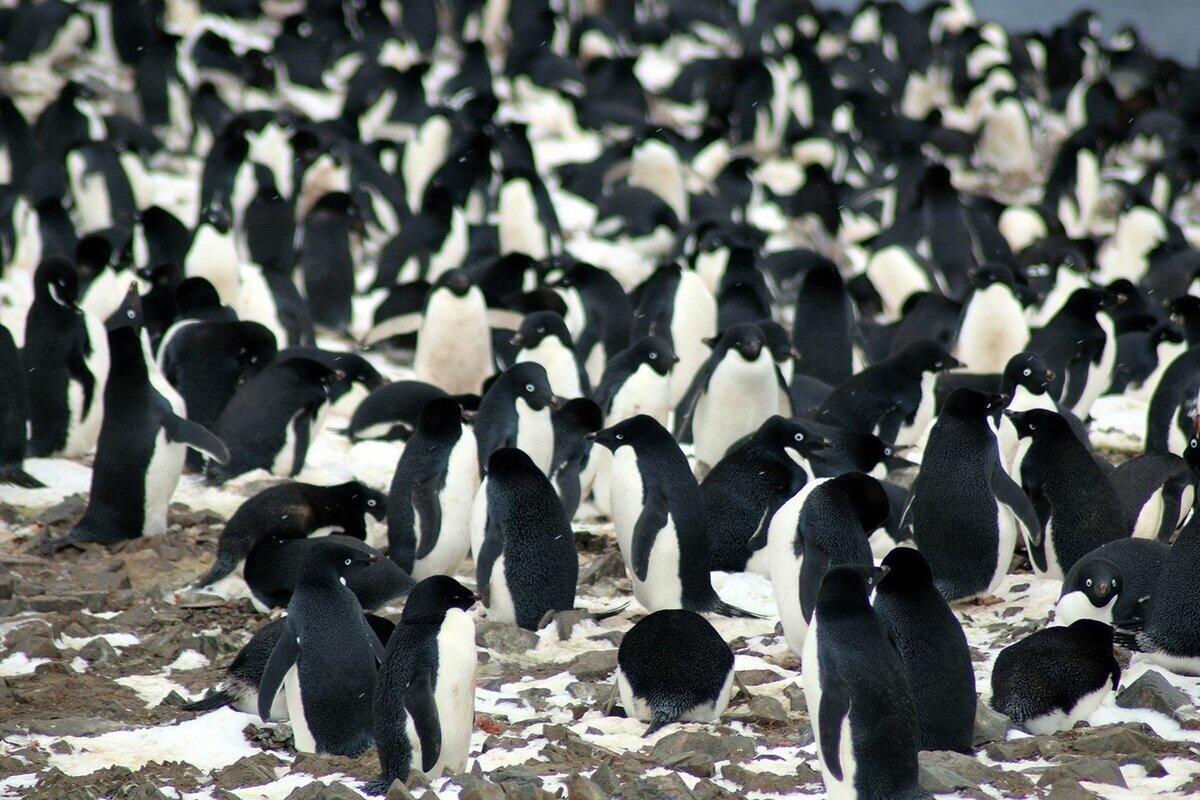 Пингвин Адели: Любовь, которую можно приобрести за красивый круглый камушек