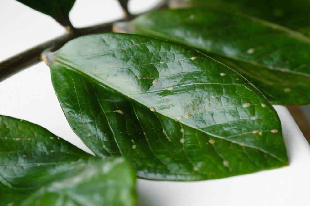 Причины липкости листьев комнатных растений и профилактические меры для ее предупреждения