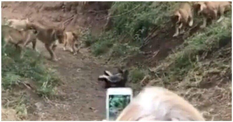 Львята окружили медоедов и решили напасть. Зря!